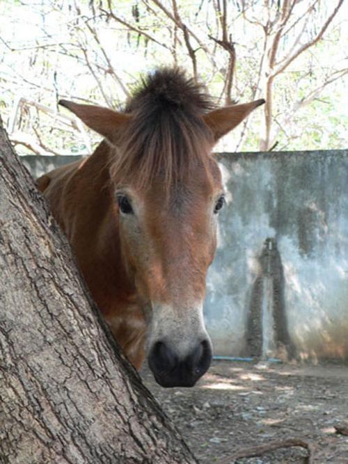 Из-за деревьев выглядывают скромные лошади, в ветвях сидят красавцы павлины, а из болота показывается рогатая морда водного быка ...